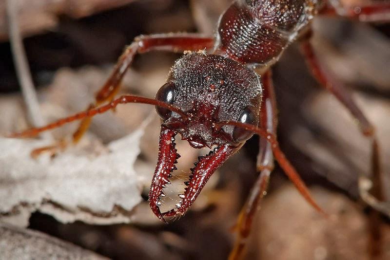 Resultado de imagen para hormiga bulldog grande