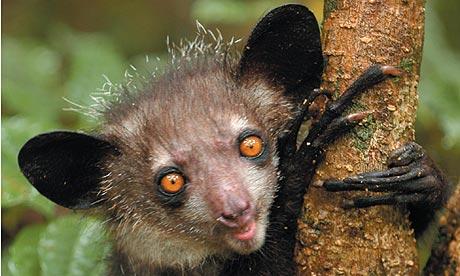 aye-aye-lemur-edward-e-louis-jr-4601.jpg